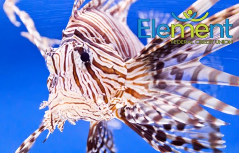 Lion Fish Debit